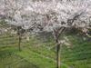 Asaodai_0408_1